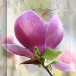 magnolie_002