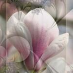 magnolie_003
