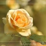 rose_006