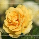 rose_007