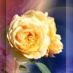 rose_014