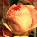 rose_015