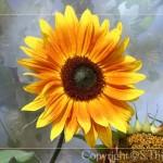 sonnenblume_001