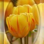 tulpe_003